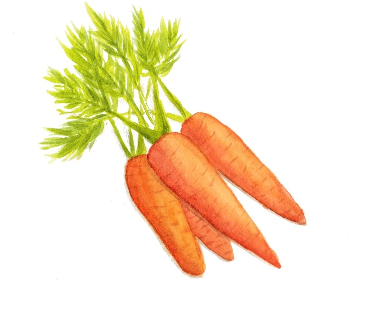 Watercolour carrots